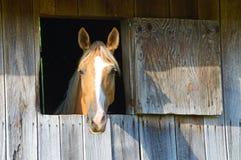 Blonde Pferdestarren aus seinem Scheunenfenster heraus Stockbild