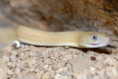 Blonde rans-Pecos rat snake Royalty Free Stock Photos