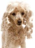Blonde Ringellocken auf Pudel Stockfotografie