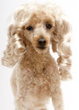 Blonde Ringlets On Pooch Stock Photography