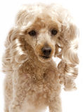 Blonde Ringlets On Poodle Stock Photography