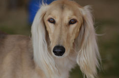 Blonde Saluki Dog Face Royalty Free Stock Photography