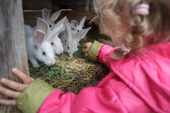 Free Blonde Toddler Girl Giving Fresh Grass To Farm Domesticated White Rabbits In Animal Hutch Royalty Free Stock Photos - 61795908