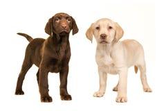 Blonde und braune labrador retriever-Welpenstellung Lizenzfreies Stockbild