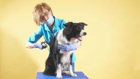 Blonde vrouw in blauwe eenvormig, glazen die het haar van rassenhond in orde maken stock videobeelden