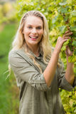 Blonde winegrower harvesting the grapes Royalty Free Stock Images