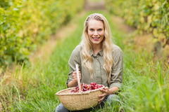 Blonde winegrower holding a red grapes basket Stock Images