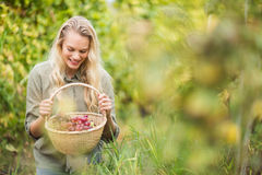 Blonde winegrower looking at a red grapes basket Stock Photography