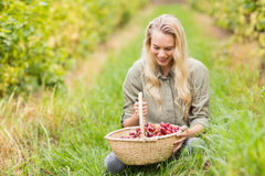 Blonde winegrower looking at a red grapes basket Stock Photo