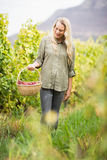Blonde winegrower walking with her red grapes basket Royalty Free Stock Image