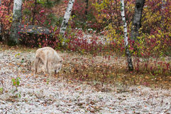 Blonde Wolf (Canis lupus) Blends into Environment Royalty Free Stock Photos