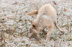 Blonde Wolf (Canis lupus) Frolics in Early Autumn Snowfall Royalty Free Stock Photos