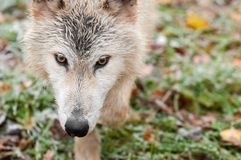 Blonde Wolf (Canis lupus) Horizontal Close Up Prowl. Copy space right - captive animal Royalty Free Stock Photography