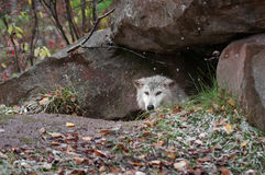 Blonde Wolf (Canis lupus) Peeks out of Den royalty free stock image