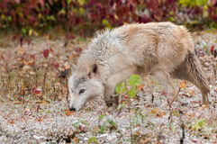 Blonde Wolf (Canis lupus) Prowling. Captive animal Royalty Free Stock Images