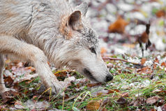 Blonde Wolf (Canis lupus) Prowls Close Up. Captive animal Stock Photos