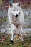 Blonde Wolf (Canis lupus) Quick Stop royalty free stock photography