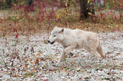 Blonde Wolf (Canis lupus) Runs Left Through Light Snow Royalty Free Stock Photos