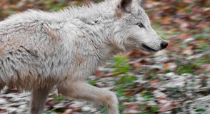Blonde Wolf (Canis lupus) Runs Right stock images