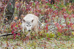 Blonde Wolf (Canis lupus) Runs Through Sumac Royalty Free Stock Image
