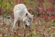 Blonde Wolf (Canis lupus) Sniffs in the Grass Royalty Free Stock Photo