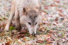 Blonde Wolf (Canis lupus) Sniffs Intently Royalty Free Stock Photo
