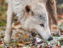 Blonde Wolf (Canis lupus) Sniffs Right Closeup Royalty Free Stock Photos