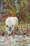 Blonde Wolf (Canis lupus) Sniffs in the Snow Royalty Free Stock Photos