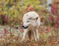 Blonde Wolf (Canis lupus) Stands Looking Left Royalty Free Stock Photo
