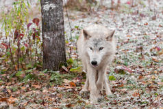 Blonde Wolf (Canis lupus) Stands in Snowy Scene. Captive animal Stock Photo