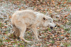 Blonde Wolf (Canis lupus) in Submissive Posture Stock Image
