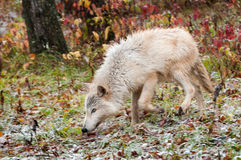 Blonde Wolf (Canis lupus) Trots Through Snowfall. Captive animal Royalty Free Stock Images