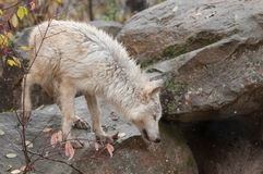 Blonde Wolf Climbs About on Rocks Royalty Free Stock Photo