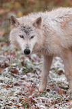 Blonde Wolf Stands in Falling Snow Stock Image