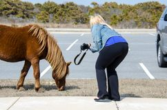 Blonde woman tempting fate by getting too close to wildlife to photograph it. Blonde woman tempting fate by getting too close to wildlife, a wild horse on royalty free stock photos