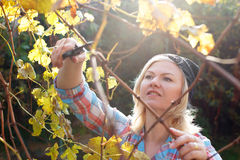 Blonde woman trim branch by small hedge cutter Royalty Free Stock Image