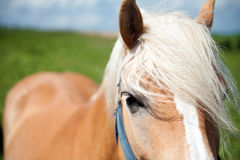 BlondeHorse Royalty Free Stock Image