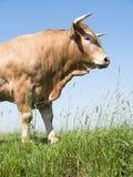 Blonder d-` Aquitanien-Stier in der grünen grasartigen Wiese mit blauem Himmel Lizenzfreie Stockfotos