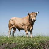 Blonder d-` Aquitanien-Stier in der grünen grasartigen Wiese mit blauem Himmel Lizenzfreie Stockfotografie
