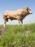 Blonder d-` Aquitanien-Stier in der grünen grasartigen Wiese mit blauem Himmel Stockbilder