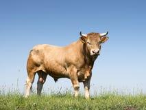 Blonder d-` Aquitanien-Stier in der grünen grasartigen Wiese mit blauem Himmel Lizenzfreie Stockbilder