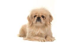 Blonder erwachsener tibetanischer Spanielhund, der auf dem Boden mit Kopf herauf das Gegenüberstellen der Kamera liegt Stockbilder