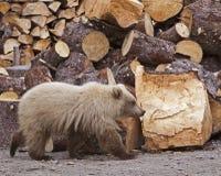Blonder GraubärBärenjung- und Holzstapel Stockfoto