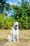 Blonder heiserer Rettungshund Stockfoto
