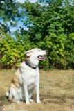 Blonder heiserer Rettungshund Lizenzfreie Stockfotos