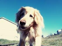 Blonder Hund Stockfotografie