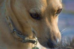 Blonder Hund im Vordergrund Lizenzfreies Stockbild
