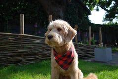 Blonder Hund mit rotem Bandana Lizenzfreie Stockfotos