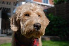 Blonder Hund mit rotem Bandana Stockfoto