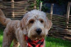 Blonder Hund mit rotem Bandana Stockbilder
